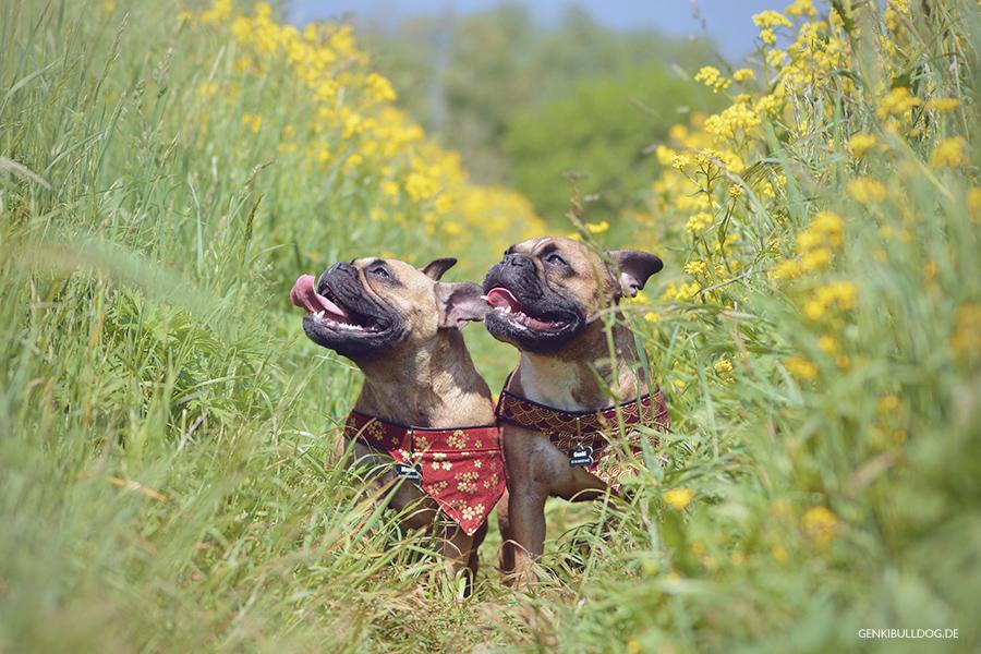 Hundeblog Genki Bulldog - Spaziergang am Neckar