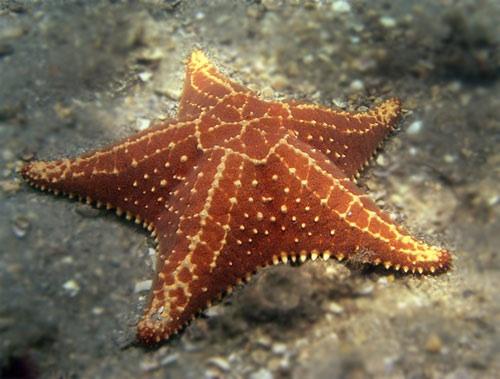 Estrela-do-mar vermelha oreaster reticulatus