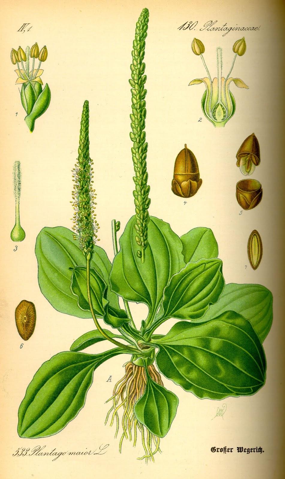 propiedades medicinales del llantén