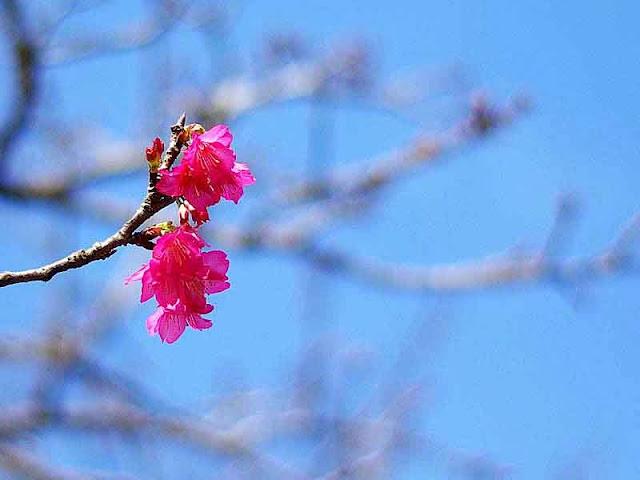 flower, cherry blossom,sakura