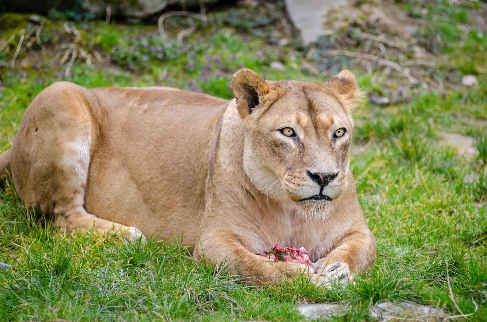 Picture of a female lion-lioness.