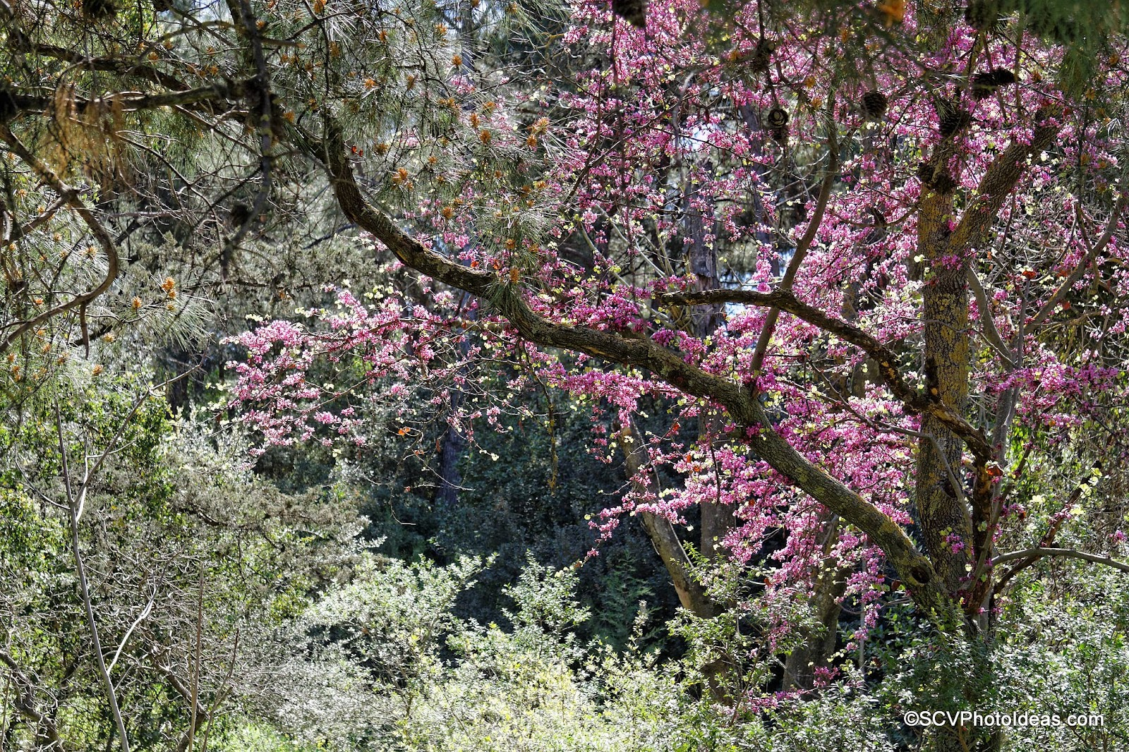 Blossoming Almond Tree in the park