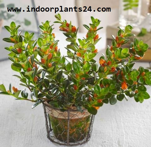 Nematanthus INDOOR HOUSE PLANT PICTURE