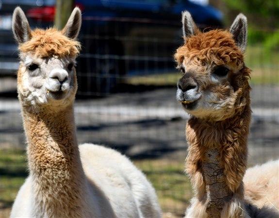 Lama - L Hayvan İsimleri