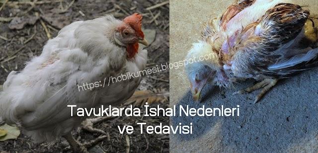 Tavuklarda İshal Nedenleri ve Tedavisi