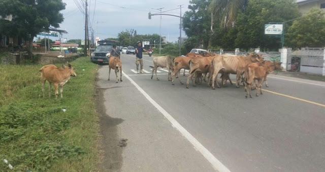 Satpol PP  Pidie Jaya tertipkan Hewan ternak yang bebas yang Berkeliaran