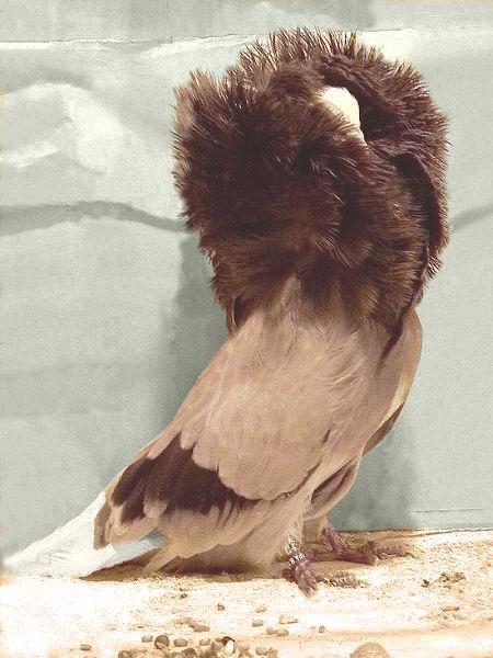 POMBO JACOBINO - Apesar de parecerem delicados, esses pombos são muito resistentes, comem pouco, reproduzem-se facilmente e são bons pais.