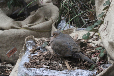 """This picture was taken on a cold winter day in a  NYC rooftop garden. During the winter seasons are containers have been wrapped in bubble wrap topped with a layer of burlap for protection from cold temperatures. The focus of the image is on a Mourning dove. The creature is sitting atop the mulch that has been added to provide extra protection for the flora during winter. A fair amount of an array of green foliage is pushing their way through the mulch. This garden is the setting for my three volume book series, """"Words In Our Beak.""""  Mourning doves are featured in volume one. Info re these books is included in another post within this blog @ https://www.thelastleafgardener.com/2018/10/one-sheet-book-series-info.html"""
