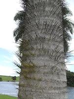 Barbed palm tree trunk - Ho'omaluhia Botanical Garden, Kaneohe, HI