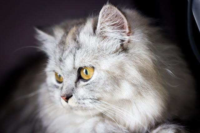 Asal Usul Ras Kucing Persia