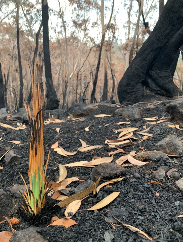 australia bushfire, growing plant, growing trees