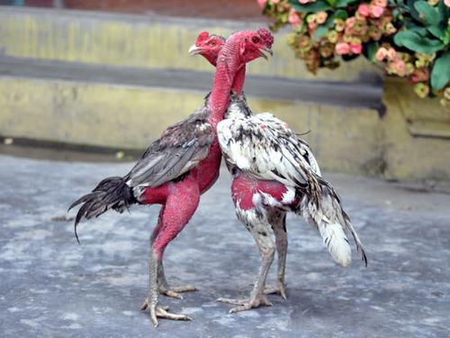 Hướng dẫn chế độ ăn cho gà chọi, gà nòi chuẩn nhất