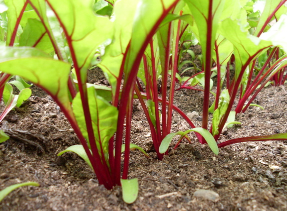 Image result for beetroots plants