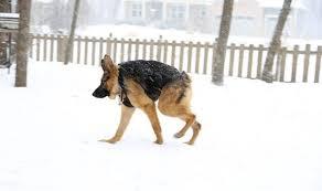 coluna curta em cães