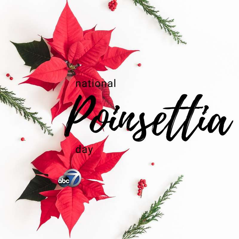National Poinsettia Day Wishes Beautiful Image
