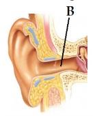 gambar bagan telinga