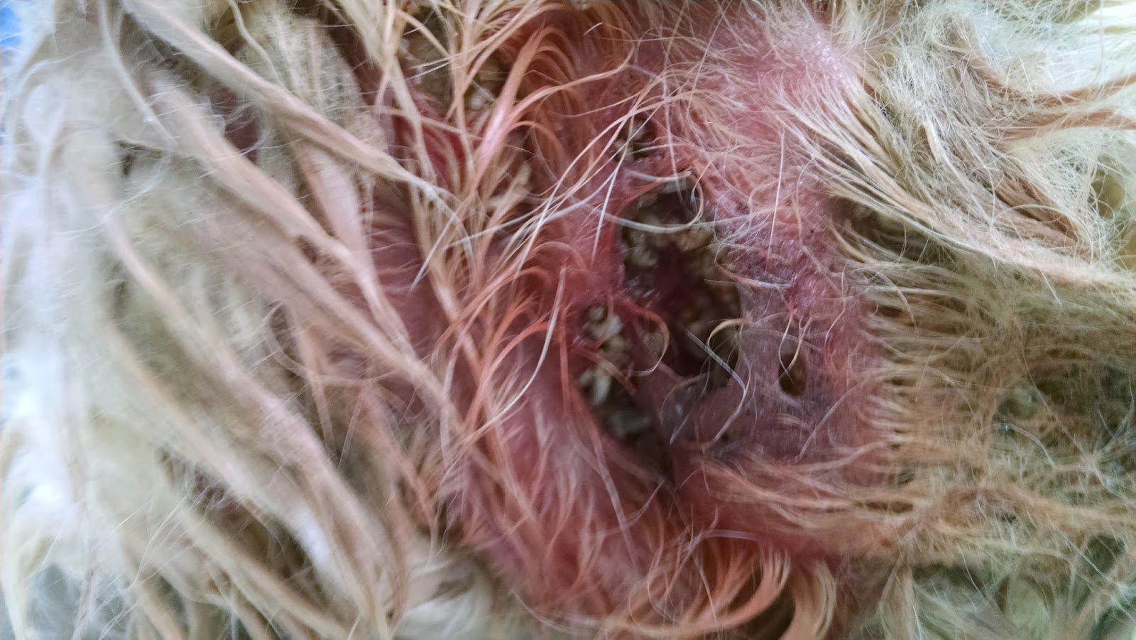 Black Mango Bed Heads A Vet 39s Guide To Life Maggots Wounds And Summertime