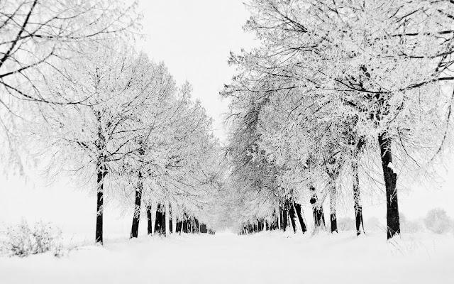 Zwart witte winter achtergrond met rijen bomen bedekt met sneeuw