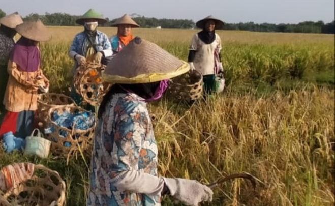 Petani Berharap Pemerintah Segera Menstabilkan Harga Gabah