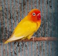 Lovebird Baby Lutino MH