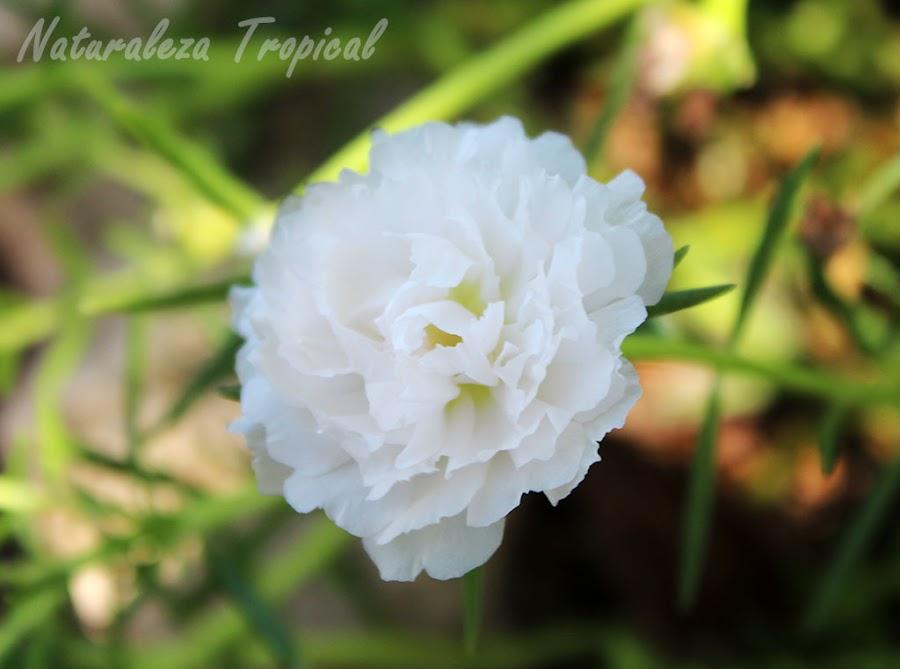 Variedad blanca de la flor de la planta Diez del Día o Diez de la Mañana, Portulaca pilosa