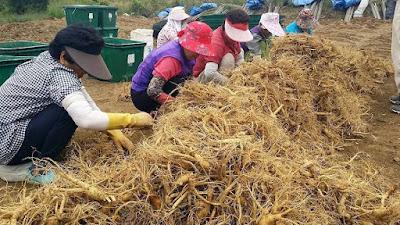 Nhân sâm Hàn Quốc được con người nhân giống và trân trọng đến ngày nay