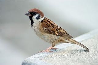 Ramaberkata Sebuah Cerita Burung Gereja