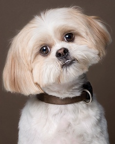 shih tzu characteristics temperament and personality of shih tzu dogs annie many 3750