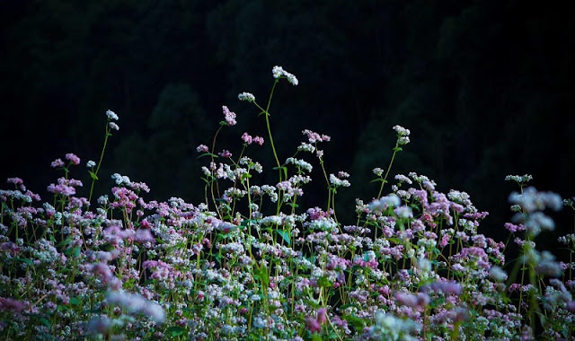 Buckwheat Flowers Are Not Simply Flowers 7