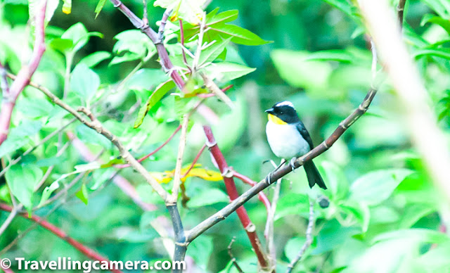 "Continuing our encounter with the incredible birds of Costa Rica, in this third part of this series we are going to talk about some of the smaller birds we came across. These were smaller, but no less beautiful when compared with the Quetzals, Macaws, and Trogons. They are not as small as the hummingbirds, but are no less amazing. Hoffman's Woodpecker, Let's start first with the woodpeckers. Costa Rica has about 16 species of Woodpeckers, of which we saw three and were able to click just one. This also turned out to be the most common woodpecker to be spotted on Costa Rica - The Hoffman's Woodpecker. With its yellow nape and striped wings, this woodpecker is fairly easy to spot. We saw this woodpecker hard at work very close to our homestay in Monteverde. Rufous-Collared Sparrow, Sparrows, the next species we are going to talk about, are my personal favorite. In fact, back home in India, noisy and daring house sparrows are always welcome in my balcony. There are about 26 species of sparrows and finches in Costa Rica. We were fortunate to come across a few. The most remarkable was the Rufous-Collared Sparrow. This little bird has a white head with black stripes and a pronounced rufous stripe around the neck. Because of this striking coloration, these birds are easy to spot from a distance. Rufous-Collared Sparrow, These sparrows are found almost everywhere and aren't intimidated by human presence. It is as commonly sighted in suburban settings as in the urban ones, but is mostly missing from densely forested areas. They feed on seeds, fallen grain, insects, and spiders, and are friendly and versatile. Sooty Thrush, Coming to the thrushes, the Sooty Thrush was earlier known as the Sooty Robin. This bird has a brown body with a belly that is several shades lighter than the wings. It has orange beak, legs and a striking yellow or orange eye ring. With a length of about 25 cm, this is a medium-sized bird and is endemic to Costa Rica and Panama. It feeds on spiders and insects and also on small fruit. preferring to hop around in open areas, this bird is quite easy to spot in Costa Rica. Sooty Thrush, Sooty Thrush's relative, the Clay-Colored Thrush (locally known as yigüirro), is the national bird of Costa Rica. We did see this bird, but it was at a distance and we were not able to click it. The bird is slightly smaller than the Sooty Thrush and is unremarkable in appearance. This makes one wonder why a country which is as blessed as Costa Rica, when it comes gorgeous birds, would choose such a plain looking bird as its national symbol. Indeed, when it comes to prettiness, the clay-colored thrush looks plain when compared to the Resplendent Quetzal, Orange-bellied Trogon, or the Scarlet Macaw. What makes it special though is its beautiful song, which can be heard even in urban settings, at the start of the rainy season. Cape May Warbler, A Cape May Warbler was spotted foraging in the undergrowth near the crater of Irazu Volcano. This bird is a rare migrant in Costa Rica and if indeed I have identified the bird correctly then this is one of our most precious photographs from Costa Rica. If this is a Cape May Warbler then it is either a juvenile male or an adult female. The adult male has a striking green back, tiger-like stripes on the chest and a very prominent chestnut cheek patch. It feeds on caterpillars and is also known to sip nectar from flowers or even from hummingbird feeders. Blue-Gray Tanager, Speaking of Tanagers, we were lucky enough to spot three different varieties of these beautiful birds. The one that was easiest to spot was the blue-gray tanager, which we spotted on our way to Jaco beach and also in Monteverde. This bird is one of the prettiest we saw in Costa Rica. I especially loved its icy blue coloration. The bird is usually found in pairs or small flocks and feeds mainly on ripe fruit. However, it is also known to consume insects and nectar. Blue-Gray Tanager, These birds like to nest in semi-open areas and are usually not found in dense forests. They are known to live in parks, forest edges, on roadside trees, and along the rivers. This versatile bird is bold and does not hesitate in nesting close to human population. Spangle-Cheeked Tanager, A remarkable medium-sized bird, the spangle-cheeked tanager is a resident-breeder in Costa Rica. It is usually found in the highlands - at the edge of forests and in semi-open areas. It is usually found in pairs or even in mixed-family feeding flocks. It has dark head, throat, and upperparts. There is a blue-scaling on the breast and wings and tail has blue edging. Its belly is mostly rufous. It feeds on small fruit and also on insects and spiders. Both male and female are quite similar but the blue scaling in males is more pronounced that that in the females. Sooty-capped Bush Tanager, Another resident breeder in Costa Rica, the Sooty-Capped Bush Tanager has a gray head and yellow or olive upperparts and body. The belly is mostly white. Like the Blue-Gray Tanager and the Spangle-cheeked tanager, the sooty-capped bush tanager also likes to live in clearings close to the forests. They are found in mossy mountain forests and likes to feed on small fruit, insects, and spiders. They are often found in small groups or in mixed-species feeding flocks. Tropical Kingbird, The Tropical Kingbird is a kind of tyrant flycatcher that can often be found perched on tree tops and electric cables watching out for possible prey. Once it spots a tasty-looking insect, the kingbird executes stupendous acrobatics to catch the unsuspecting insect. The bird has gray head with a dark eye mask. Its wings and forked tail are brown. Fiercely territorial in nature, the Tropical Kingbird is known for valiantly defending its territory against much larger intruders, such as toucans. Blue-and-white Swallow, The Blue-and-White Swallow can often be seen perched on electric cables. Often seen in small groups, the bird survives mostly on a diet of insects that it catches mid-air. The birds can be seen flying at high speeds and taking sharp turns to catch insects. The bird is identifiable because of its dark blue upperparts, a white neck and belly, and a forked tail. This is one species that has benefited because of deforestation, as it has led to an increase in the suitable habitat. Orange-fronted Parakeet, We spotted orange-fronted parakeets in Monteverde town. This was a large flock with close to 50 birds. This is not surprising because these parakeets are known to stay in large flocks, some as large as 100 birds. These parakeets are easily recognizable because of its blue crown, blue wings and a blue tail tip. It has an orange forehead and a bright yellow ring around the eye. The bird feeds on seeds, flowers, and fruits. Though the bird is not yet endangered, its numbers have gone down because of illegal pet trade. Great Kiskadees having a discussion mid-air, Boisterous and fearless, the Great Kiskadee is a tyrant flycatcher and can easily be spotted in various parts of Costa Rica. We saw it near Irazu Volcano and also in Monteverde. This is a large flycatcher, but is easily confused with lookalikes such as the social flycatcher and the boat-billed flycatcher. It is distinguishable because of a hint of red in its wings. Great Kiskadee, The Great Kiskadee is so named because of its call, which goes ""Kis-ka-dee"", and is at times abbreviated to ""Kis-ka"". The birds are almost never silent, so if they are around, you are unlikely to miss them. Though the Great Kiskadee is a flycatcher, it feeds on a variety of food - insects, rodents, fruits. These birds are monogamous and territorial. White-naped Brush Finch, The last bird we will talk about in this post is the white-naped brush finch. The finch is identifiable by the yellow patch on its throat and a white line in the middle of its head. Its belly is gray or white and in some subspecies, it may also be yellow. It forages on the ground, in the undergrowth, and is often seen in small family groups. We will talk about a few more birds we came across in Costa Rica in the last post in this series. Stay tuned."