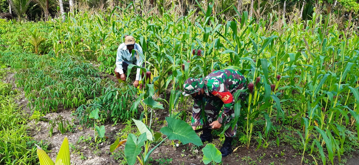 Babinsa bersama warga membersihkan kebun jagung