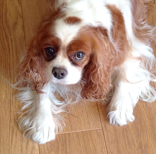 Blenheim Cavalier King Charles Spaniel laying on floor