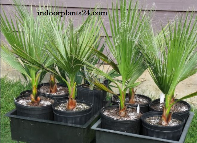 Washingtonia Filifera Palmae