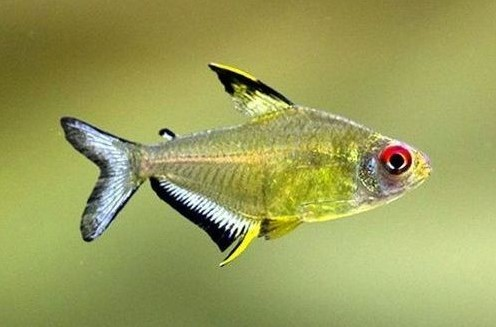 Ikan lemon tetra Cocok dengan Manfish