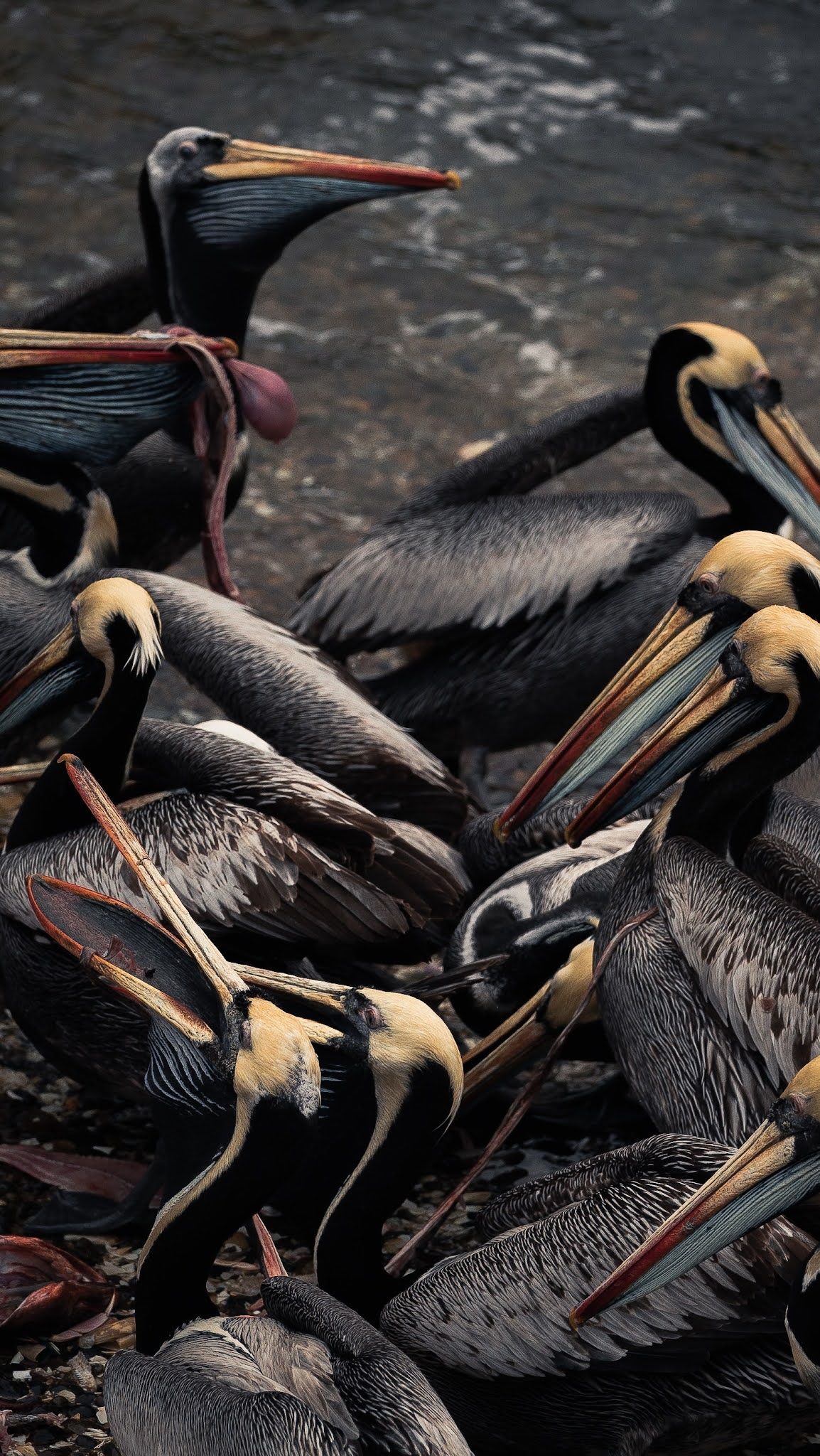 A group of pelicans.
