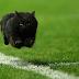 BOM HUMOR : / Um gato interrompe uma partida de rugby e a Internet responde