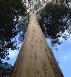 Pohon White Knight – Pohon Eukaliptus