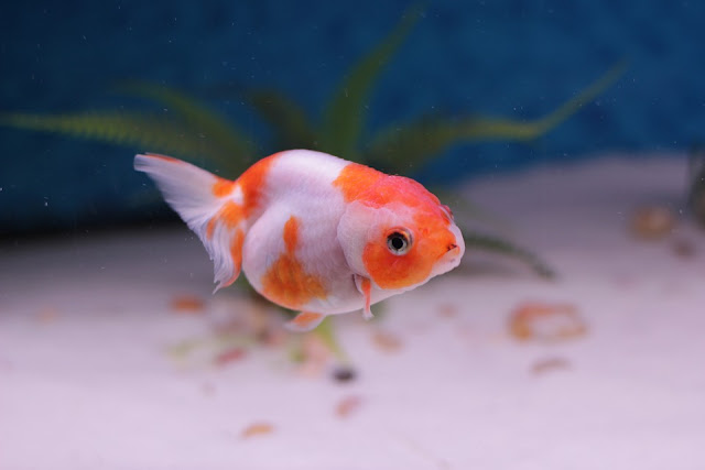 Goldfish Care Tips.