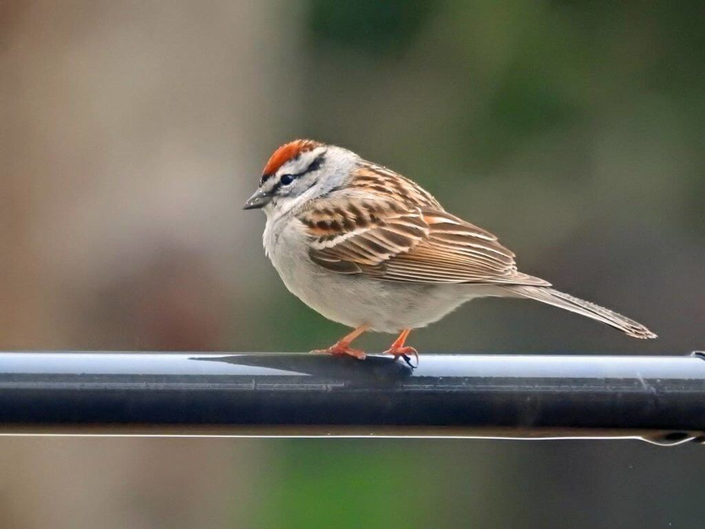 The Chipping Sparrow (Spizella passerina)