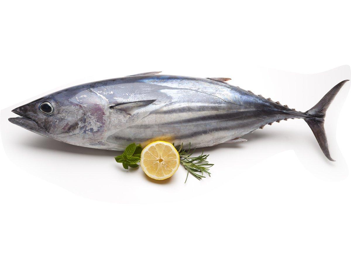 سمكة التونة tuna