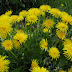 Dandelion Root, a Cancer Cell Killer, Has a Long History as an Ancient Medicine. Here's How to Use It!