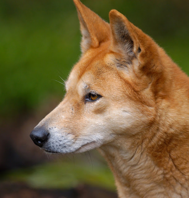 They were once domestic pets, then natural selection made dingoes wild