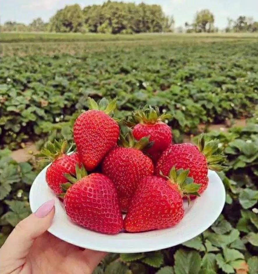 strawberry california bibit strawberry strawberry murah strawberry Padang