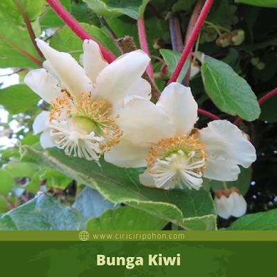 Ciri Ciri Bunga Kiwi