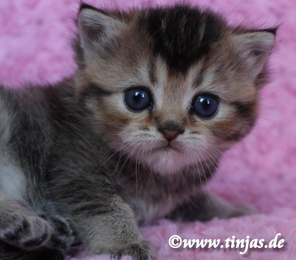 Britisch Kurzhaar Katzenbaby golden tabby