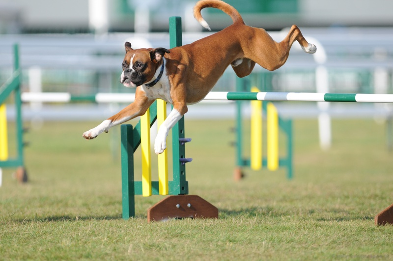 Image result for Boxer agility