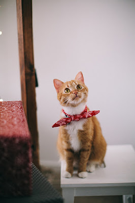 An orange tabby cat with a red handkerchief around its neck sits on a small white table