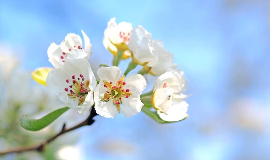 flor del manzano