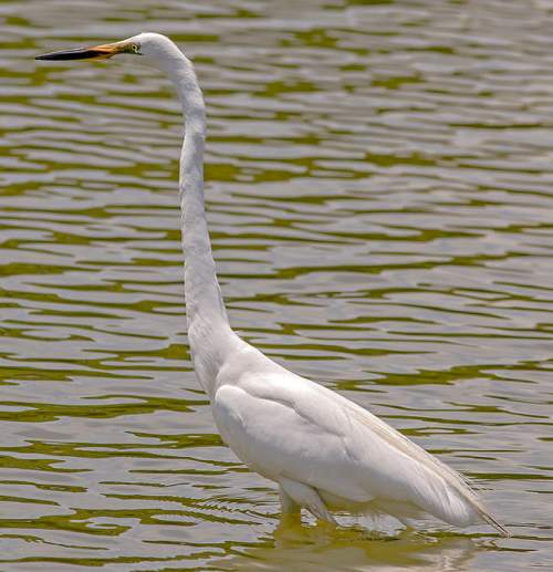Eastern great egret - Ardea modesta