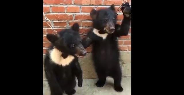 Этих медвежат дрессируют для цирка! Они беспомощно кричат от боли! Видео
